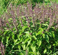 Serenity in the Garden: TULSI - India's Sacred Herb.....'Holy Basil'