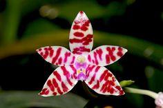 Moth-Orchid: Phalaenopsis bastianii