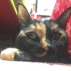 ここは狭いけど居心地いい場所にゃん❣️今からお昼寝だにゃん😸#ねこ #猫 #ネコ #ねこ部 #ねこら部 #ネコ部 #みんねこ #ねこすき #ねこすきさんと繋がりたい #ねこがすき #ねこだいすき #にゃんこ #さび猫 #ぬこ #愛猫 #ねこすたぐらむ #にゃんすたぐらむ #にゃんだふるらいふ #ぬこ部 ##cat #cats #catsgram #catstagram #catlovers #instacat #instacats #neko