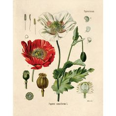 Botanical Papaver somniferum Opium Poppy Print. Educational Chart... ($30) ❤ liked on Polyvore featuring home, home decor, wall art, floral wall art, vintage typography poster, word wall art, flower plates and vintage plates
