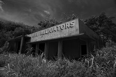 Live Alligators BW