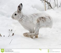 snowshoe-hare-running-bounds-snow-winter-51464738.jpg (1300×1130)