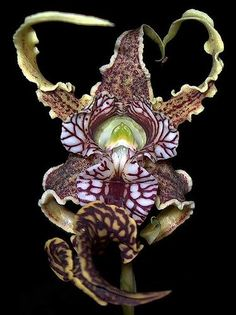 Orchid variant