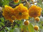 Cochlospermum vitifolium   - Open flowers and buds