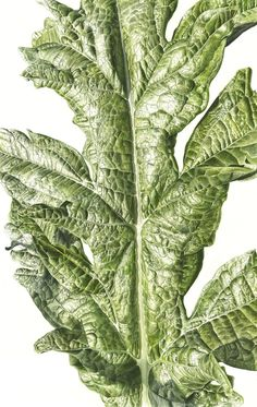 Jess Shepherd is raising funds for Leafscape - a limited edition art book by Inky Leaves on Kickstarter! A collection of botanical paintings that allows you look closer at the beauty of nature. Botanical Drawings, Botanical Illustration, Botanical Prints, Illustration Art, Watercolor Leaves, Watercolor Paintings, Watercolors, Painted Leaves, Whimsical Art