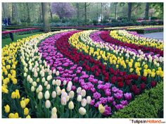 Rainbow of tulips in Keukenhof Garden in Holland.