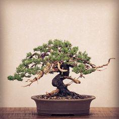 Another new tree begins it's life as a bonsai. Conifer Trees, Deciduous Trees, Bonsai Trees, Juniper Bonsai, Single Tree, Miniature Trees, Science Art, Art Of Living, Art Forms