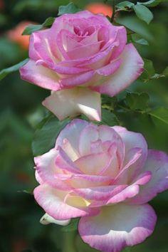 2609 Mejores Imágenes De Rosas Naturales Papel En 2019