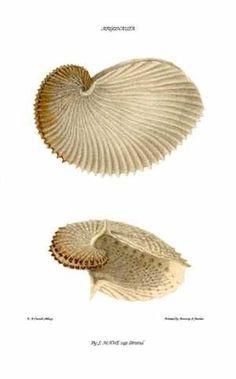 ''Paper Nautilus'' Argonaut shell .  Giclee Fine Art Print
