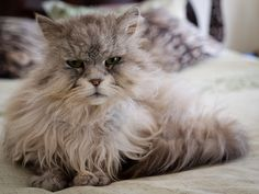has a bit of silver persian in him. adorable.
