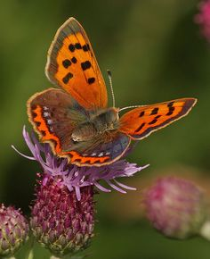 Small Copper Butterfly | Flickr - Photo Sharing!