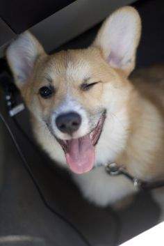 When a corgi winks at you, you have to wink back....just in case it's code