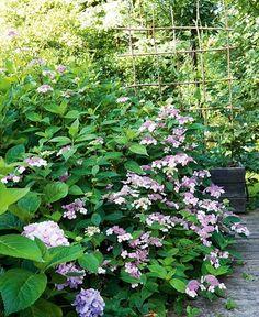 Skap form og farger i hagen - Bo-Bedre. Greenery, Garden Design, Bamboo, Herbs, Plants, Beautiful Gardens, Garden Ideas, Gardening, House