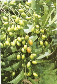 Neem, the medicinal fruit tree that grows widely in India. Neem oil is valuable for the treatment of many skin conditions and is regarded as a cure-all, so much so that it is known locally as the village pharmacy. Different Types Of Vegetables, Fresh Fruits And Vegetables, Exotic Fruit, Tropical Fruits, Organic Gardening, Gardening Tips, Seed Dispersal, Natural Insecticide, Wisteria Tree