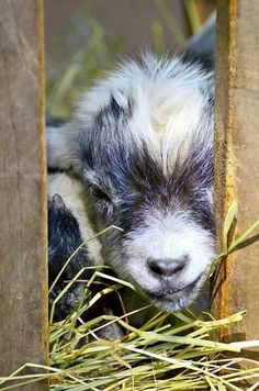 Baby goat Photograph - Watch out with a face like that you're gonna get kisses! Mini Goats, Cute Goats, Baby Goats, Cute Baby Animals, Farm Animals, Animals And Pets, Beautiful Creatures, Animals Beautiful, Pigmy Goats