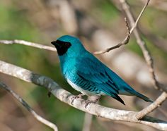Northern Swallow Tanager....
