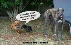 I rescue greyhounds and used to raise doxies!!  Love them all!!