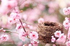 La fotografía de naturaleza  flores del ciruelo por GeorgiannaLane, $30.00