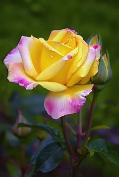 Ombré yellow rose