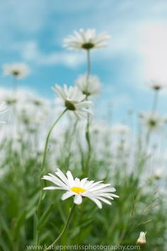 peace. pretty daisies I love different angles..get down to the flowers level to shoot!