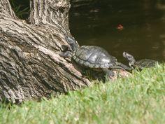Turtles at McGough Park. Panasonic G5, 200 mm.