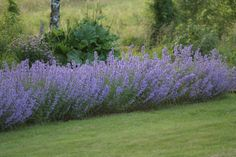 Gallon) Nepeta racemosa 'Walker's Low' Catmint - It Features Loose Whorls of Small, Abundant, Two-Lipped, Trumpet-Shaped, Lavender-Blue Flowers. Blooming Flowers, Summer Flowers, Colorful Flowers, Blue Flowers, Flower Colour, Beautiful Flowers, All Plants, Garden Plants, September Flowers