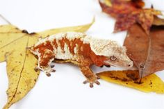 'Icee' from The Living Palette - a red cream. Cute Reptiles, Reptiles And Amphibians, Mammals, Gecko Terrarium, Terrarium Reptile, Baby Skunks, Cute Gecko, Hamster Cages, Crested Gecko