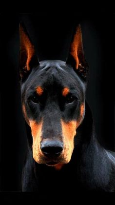 The Doberman Pinscher is among the most popular breed of dogs in the world. Known for its intelligence and loyalty, the Pinscher is both a police- favorite Big Dogs, Cute Dogs, Dogs And Puppies, Small Dogs, Doggies, Beautiful Dogs, Animals Beautiful, Doberman Pinscher Puppy, Doberman Love