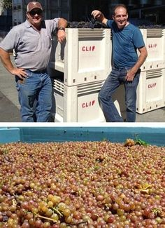 @Clif Family harvested 10.5 tons of #PetiteSirah from Gobbler Grove Vineyards and 3.9 tons of #Gewürztraminer from Mendocino. Bringing their #harvest2013 total to 44.3 tons. #NapaHarvest #napavalley