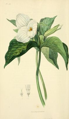 Large-flowered Trillium. Plate from 'Flora Conspicua' by Richard Morris ; drawn and engraved from living specimens by William Clark. Published 1826 by Longman, Rees, Orme, Brown, and Green archive.org
