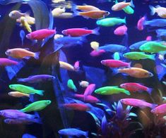 Add some color to your home with these incredible glow in the dark tetra fish. These tiny aquatic pets are available in one of six amazingly vibrant colors like electric green and starfire red - making them a brilliant addition to any room.