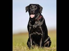 Border Collie & Lab Mix Information Labrador Retriever Mix, Chow Lab Mix, Border Collie Lab Mix, Shed Antlers, Anatolian Shepherd, Purebred Dogs, Dog Hacks, Black Labrador, Hunting Dogs