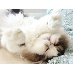 About the Persian Cat - Cat's Nine Lives Cute Cats And Kittens, I Love Cats, Crazy Cats, Kittens Cutest, Kitty Cats, Teacup Persian Cats, Persian Kittens, Beautiful Cats, Animals Beautiful