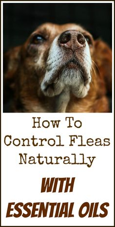 Homemade dog treat recipes are the best because you know exactly how to control fleas naturally with essential oils solutioingenieria Choice Image