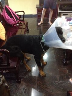 first cone of shame; therefore I shall sit on your chair -10mths