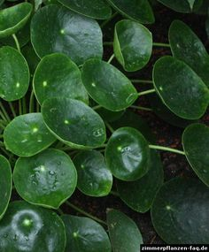 Pilea peperomioides, known as Chinese money plant, lefse plant, or missionary plant, is a species of flowering plants in the family Urticaceae, native to Yunnan Province in southern China. Growing to 30 cm (12 in) tall and wide, it is an erect, succulent, evergreen perennial, with round, dark green, peltate leaves up to 10 cm (4 in) in diameter on a long petiole.[