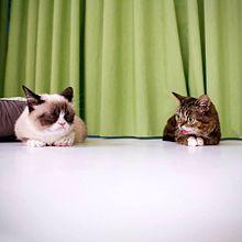 Grumpy Cat - Wikipedia, the free encyclopedia, shown with Lil Bub