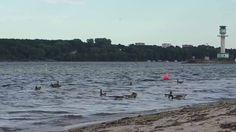 Footage 2016 - Gänse und Möwen auf dem Meer - Strand Kiel Germany 25.06.2016