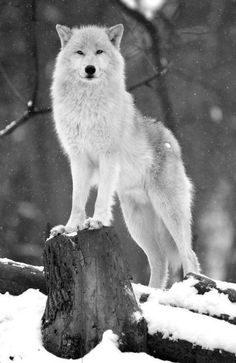 Roxie is the alpha and she needs a mate she is kind and funny. She loves to hunt and fight played by me Sunspirit Wolf Photos, Wolf Pictures, Animal Pictures, Wolf Spirit, My Spirit Animal, Beautiful Creatures, Animals Beautiful, Tier Wolf, Animals And Pets