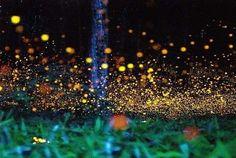 Check out these beautiful long-exposure photos of fireflies captured in Okayama Prefecture, Japan by Tsuneaki Hiramatsu . So beautiful! Firefly Photography, Lighting Bugs, Long Exposure Photos, Paraiso Natural, Great Smoky Mountains, Natural Phenomena, Up Girl, Beautiful World, Beautiful Things