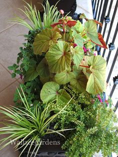 Foliage frenzy in the shade. Tuberous Begonia, Container Design, Shade Perennials, Growing Flowers, Shade Garden, Garden Styles, Container Gardening, Greenery, Flora