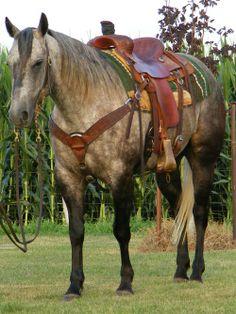 Grey Quarter Horse!  He is beautiful!