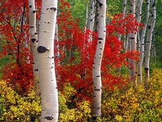 Google Image Result for http://www.citypictures.org/data/media/124/Aspens_and_Maples_Colorado.jpg