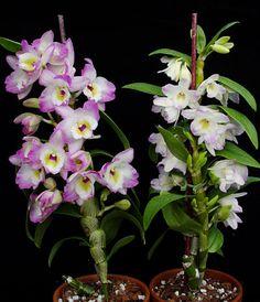 Dendrobium Spring Bird 'Kurashiki'-Dendrobium nobile type orchid plant care