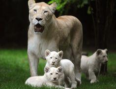 Três filhotes de leão branco nasceram no Zoológico de La Fleche, na França.  Fotografia: Jean-François/AFP.
