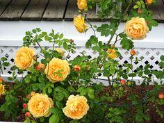 Roses at the Red Jacket Riviera Beach Resort South Yarmouth, MA