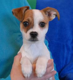 Buddy is ready to melt your heart and become a treasured member of your loving, forever family.  He is a playful and super sweet baby boy, now 3 months of age, a neutered boy, debuting for adoption today at Nevada SPCA (www.nevadaspca.org).  Buddy is expected to remain small because we believe he is a blend of Chihuahua, Jack Russell Terrier, and Toy Fox Terrier.  He adores people and dogs.