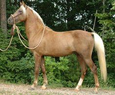 Morgan stallion, Gab Creek Motilla, palomino. Foundation breeding.