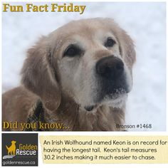 """This pup must have quite the """"tale"""" to tell! #goldenretriever #secondchances #FunFactFriday Friday Yay, Fun Fact Friday, English Mastiff Dog, Mastiff Dogs, Friday Facts, Tallest Dog, Happy Canada Day, Valentines Day Activities, Dog Years"""