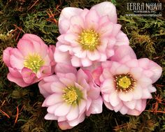 Helleborus Winter Jewels™ 'Cotton Candy' - These double, fluffy light pink flowers are so appealing; you can almost taste the cotton candy. One of the world's top hybridizers, Marietta O'Byrne has created this wonderful Winter Jewels™ Strain. A delight in the winter garden. Deer resistant!